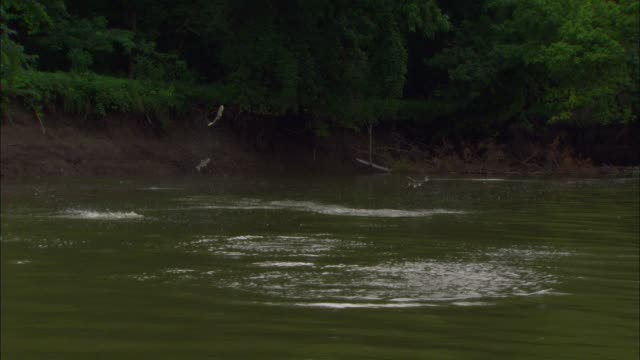 Track towards Asian Silver Carp jumping out of river close to camera