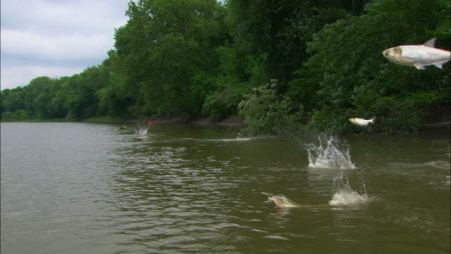Track towards Asian Silver Carp jumping out of river very close to camera