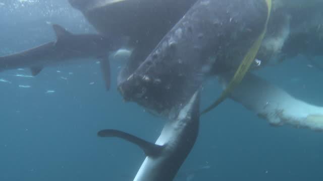 track towards blue sharks feeding on dead humpback whale - atlantic ocean stock videos & royalty-free footage