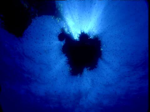 Track towards fish swimming around floating kelp, California