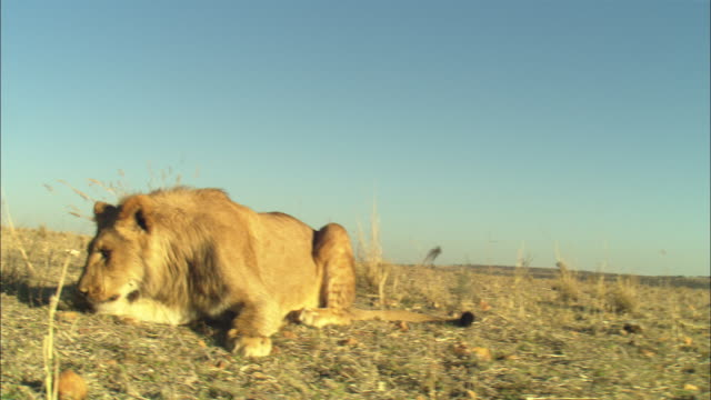 la track towards juvenile male african lion sitting on grass snarls then runs off - aggression stock videos & royalty-free footage