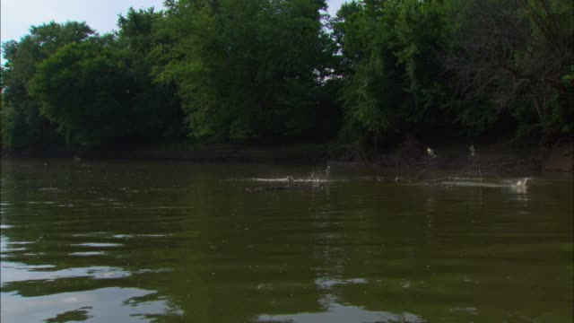 Track towards massed Asian Silver Carp jumping out of river near bank