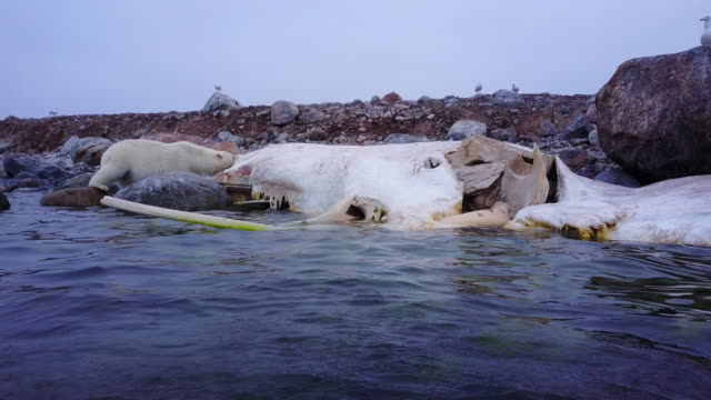 track towards polar bear eating blubber from rotting sperm whale carcase - cetacea stock videos & royalty-free footage