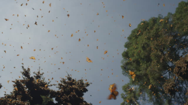 la track trees with massed monarch butterflies flying in clear sky and on trunks and branches - monarch butterfly stock videos & royalty-free footage