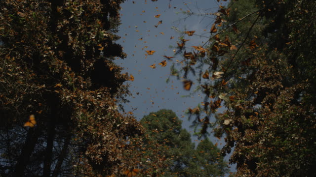 la track trees with massed monarch butterflies flying in clearing and on trunks and branches - farfalla monarca video stock e b–roll