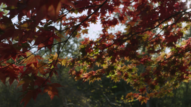 track under japanese maple tree (acer palmatum) in autumn sunshine, gloucestershire, england - autumn stock videos & royalty-free footage