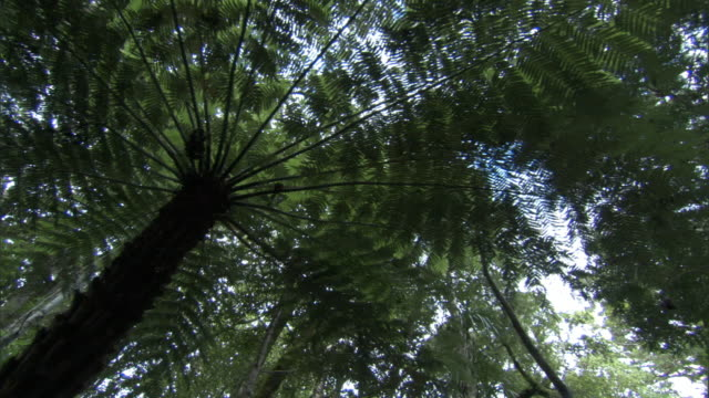 track under tree ferns (cyathea sp) in waipoua forest, new zealand - fern stock videos & royalty-free footage