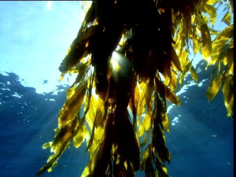 Track underneath kelp as sunlight shines through fronds, California