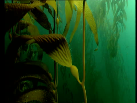 track up long strand of kelp in kelp forest, tasmania - lunghezza video stock e b–roll