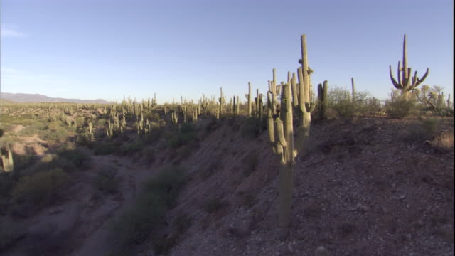 track up over saguaro cacti in the sonoran desert. available in hd. - sonoran desert stock videos & royalty-free footage