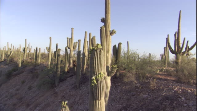 Track up over Saguaro cacti in the Sonoran Desert. Available in HD.