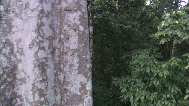 track up past rainforest tree trunk, sabah, borneo - malaysia stock videos & royalty-free footage