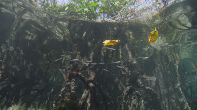 track up through mangrove swamp, belize - sea grass plant stock videos & royalty-free footage