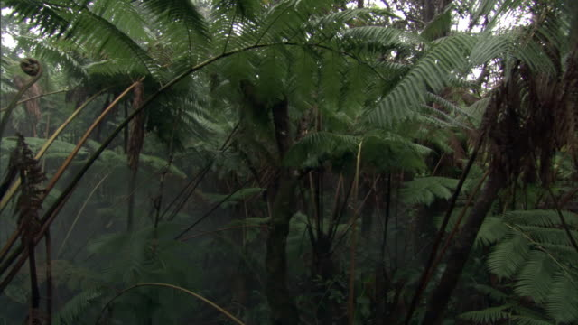 track up through tree ferns in forest, hawaii - シダ点の映像素材/bロール