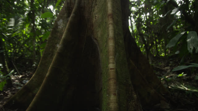"""Track up tree trunk in forest, Tiputini, Ecuador"""