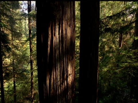vídeos y material grabado en eventos de stock de track up trunk of coast redwood tree, redwood national park, usa - parque estatal