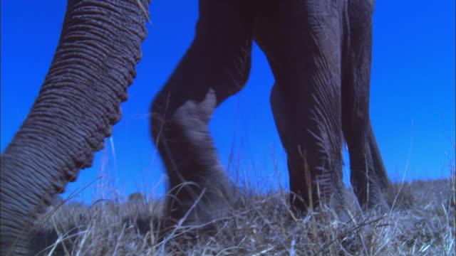 vídeos y material grabado en eventos de stock de la track with 2 african elephants walking towards camera then feeding on grass very close to camera  - nariz de animal
