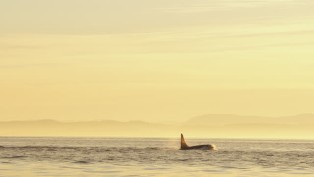 Track with 2 male Orcas surfacing to breathe in evening light with shoreline in distance