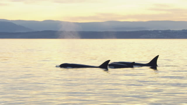 track with 2 orcas and calf surfacing to breathe in flat calm sea in evening light with coastline in distance  - two animals stock videos & royalty-free footage