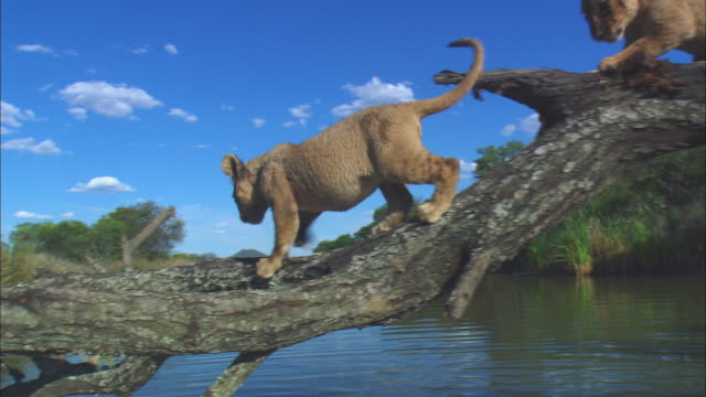 Track with 2 very young African lion cubs crossing river on fallen tree trunk as one falls in