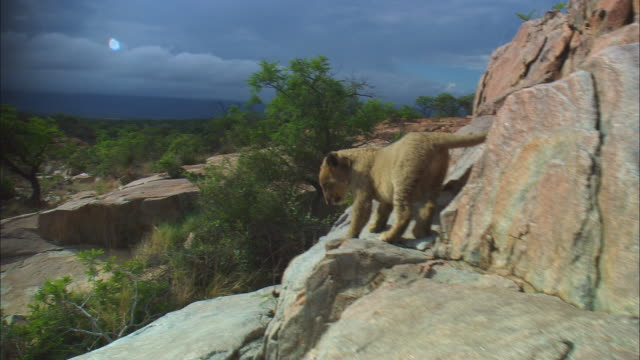 Track with 2 very young African lion cubs exploring face of rocky outcrop