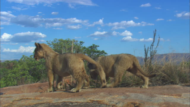 Track with 2 very young African lion cubs  exploring rocky outcrop