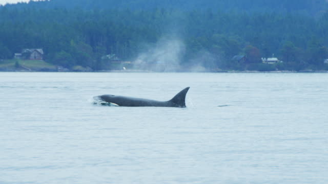 MS track with 3 Orcas surfacing to breathe with wooded coastline in background