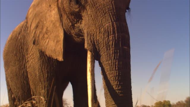 la track with african elephant walking very close to camera - タンザニア点の映像素材/bロール