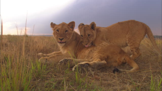 Track with African lion cub as it walks up and greets second cub and they lie down together