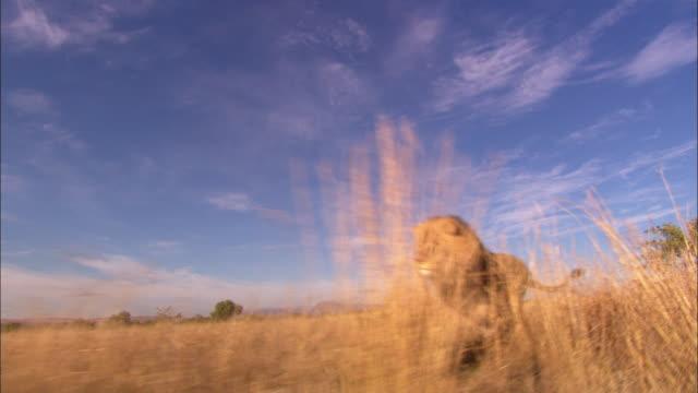 vídeos de stock e filmes b-roll de track with african lion running through long grass  - leão