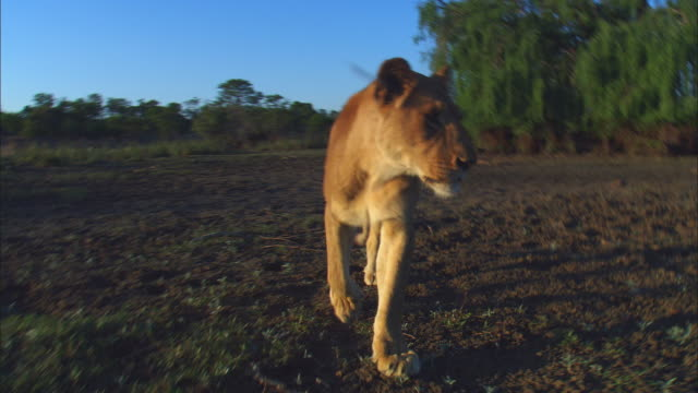 Track with African lioness walking to camera on bare ground