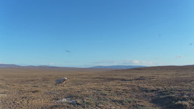 ws track with arctic wolf trotting across tundra then changing direction - 一隻動物 個影片檔及 b 捲影像