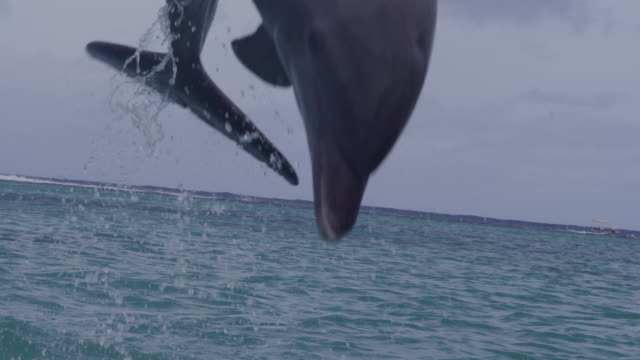 slomo track with bottlenosed dolphin leaping and landing in sea - dolphin stock videos & royalty-free footage