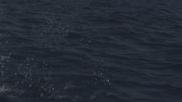 vidéos et rushes de slomo cu track with bottlenosed dolphin leaping from water in open sea - cétacé