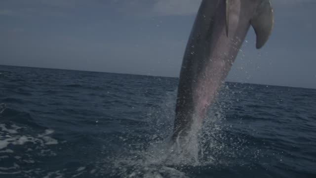 Track with Bottlenosed Dolphin leaping from water in open sea