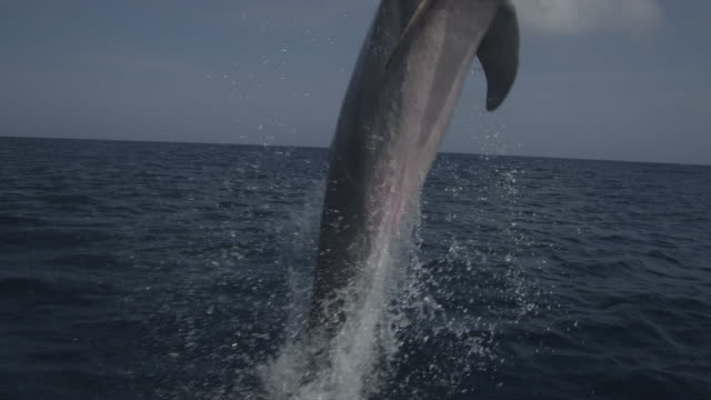 track with bottlenosed dolphin leaping from water in open sea - tursiope video stock e b–roll