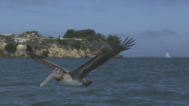 ms slo mo track with brown pelican flying and gliding with alcatraz prison in background - アルカトラズ島点の映像素材/bロール
