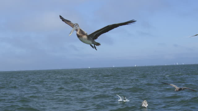 WS SLO MO track with Brown Pelican flying low over water among gulls