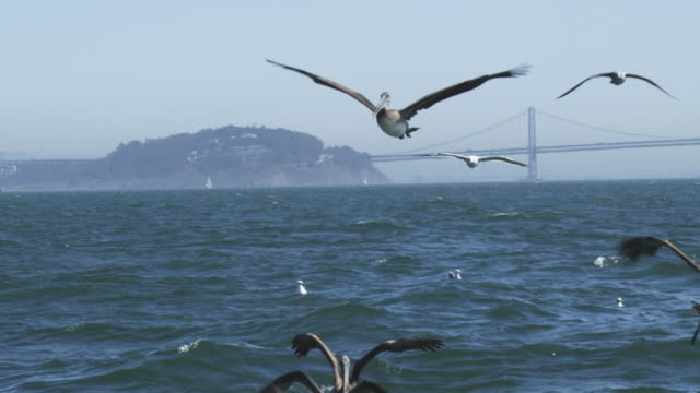 WS SLO MO track with Brown Pelican flying low over water among gulls with Oakland Bridge in background