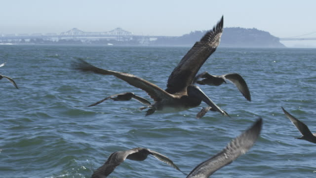 vídeos de stock e filmes b-roll de ms slo mo track with brown pelican flying low over water among gulls with oakland bridge in background  - pelicano