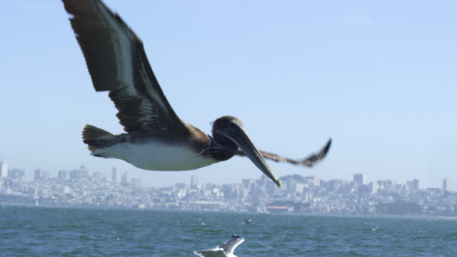 MS SLO MO track with Brown Pelican flying low over water in San Francisco harbour and with clear sky background
