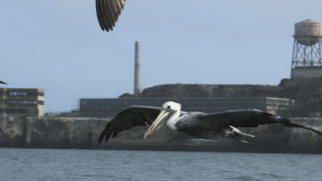 MS SLO MO track with Brown Pelican flying low over water in San Francisco harbour