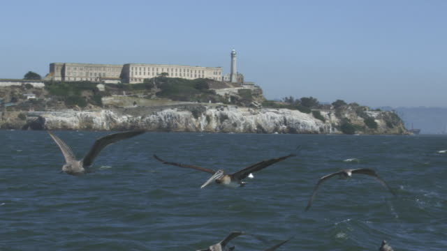 ws slo mo track with brown pelican flying low over water with alcatraz prison in background amongst gulls - アルカトラズ島点の映像素材/bロール