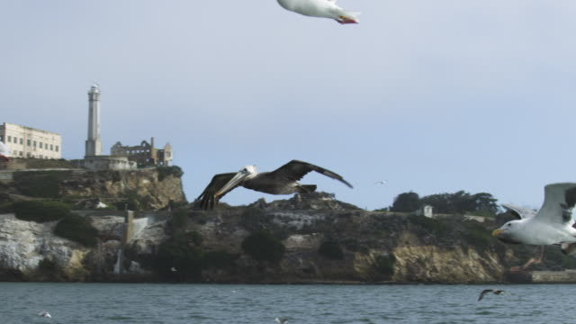 WS SLO MO track with Brown Pelican flying low over water with Alcatraz prison in background amongst gulls
