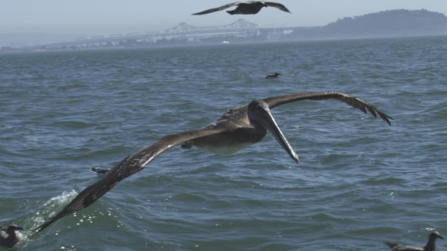 vídeos de stock e filmes b-roll de ms slo mo track with brown pelican flying low over water with gulls  - pelicano
