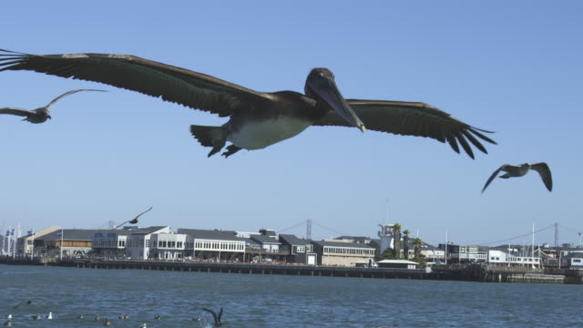 MS SLO MO track with Brown Pelican flying low over water with San Francisco in background