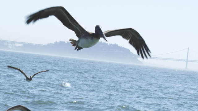 MS SLO MO track with Brown Pelican flying to camera with hazy background