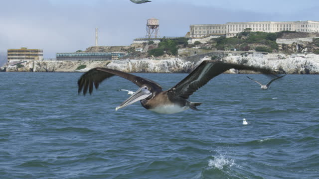 MS SLO MO track with Brown Pelican flying with Alcatraz prison in background