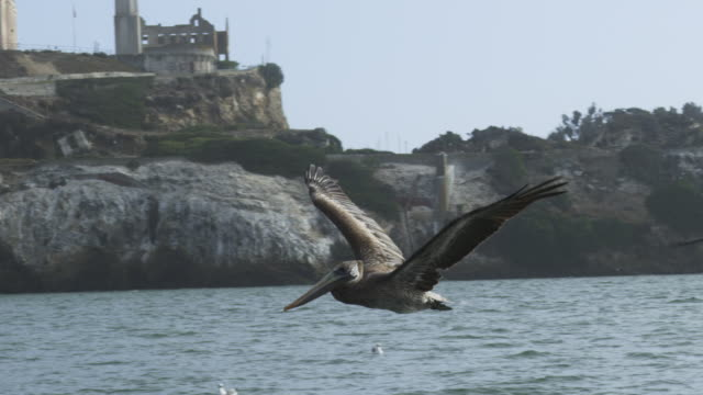 MS SLO MO track with Brown Pelicans and gulls flying low over water with Alcatraz prison in background