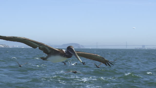 vídeos de stock e filmes b-roll de ms slo mo track with brown pelicans and gulls flying low over water with san francisco in background  - pelicano